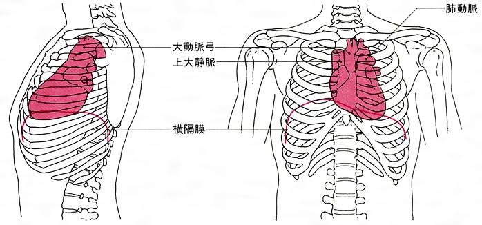 胸の真ん中から左側に心臓がある